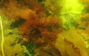 Seaweeds shelter calcifying marine life from acidifying oceans
