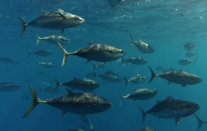 Study shows rapid decline of fishery stocks across Australia