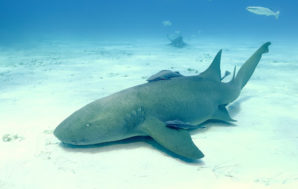 Southern Africa's most endangered shark just extended its range by…